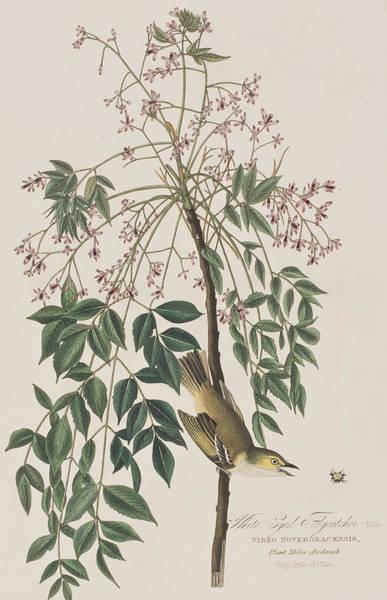 Flycatcher Painting - White-eyed Flycatcher by John James Audubon