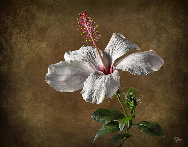 Photograph - White Hibiscus by Endre Balogh