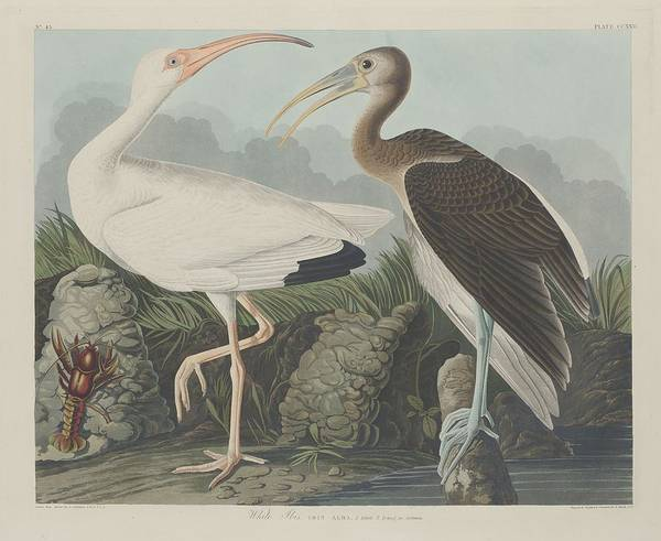 Wall Art - Drawing - White Ibis by Dreyer Wildlife Print Collections