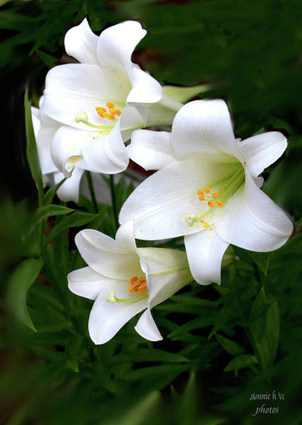 Photograph -  White Lilies by Bonnie Willis