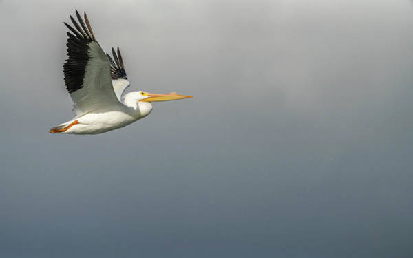 Photograph - White Pelican by Framing Places