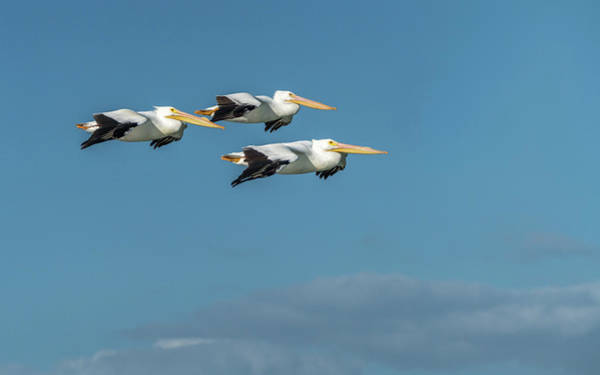 Photograph - White Pelican Trio by Framing Places