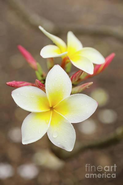 Photograph - White Plumeria by Charmian Vistaunet