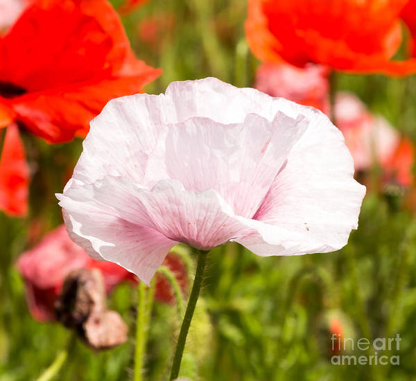 Photograph - White Poppy by Colin Rayner