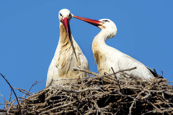 Photograph - White Storks Of Fagagna by Wolfgang Stocker