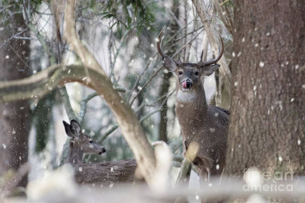 Photograph - White Tail Bucks In The Woods by Dan Friend