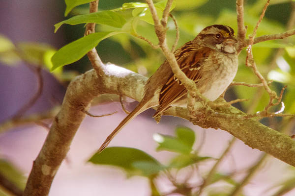 Photograph - White Throated Sparrow by Barry Jones