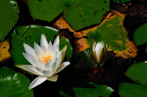 Photograph - White Water Lilies by Louis Dallara