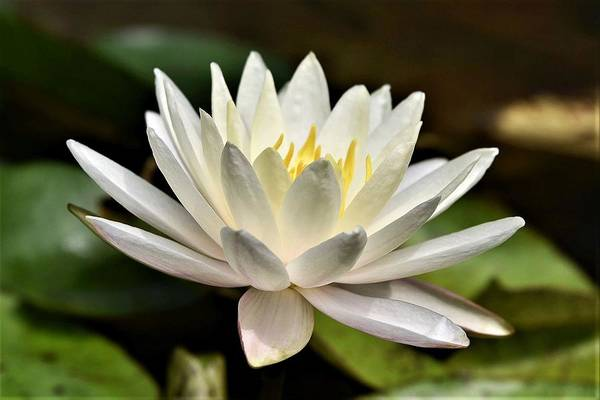 Photograph - White Water Lily At Farmer Girl by Kim Bemis