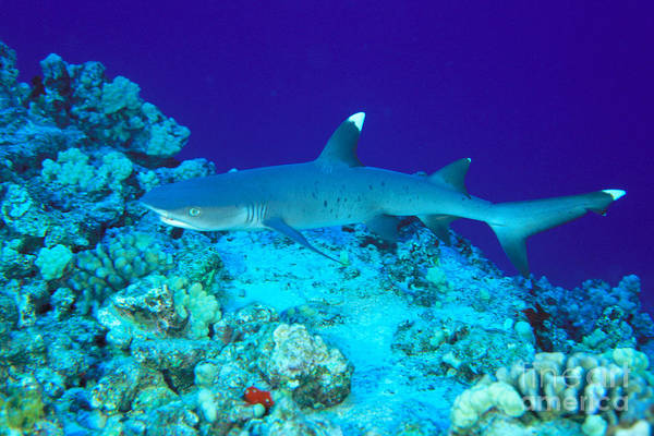 Triaenodon Obesus Photograph - Whitetip Reef Shark by Dave Fleetham - Printscapes