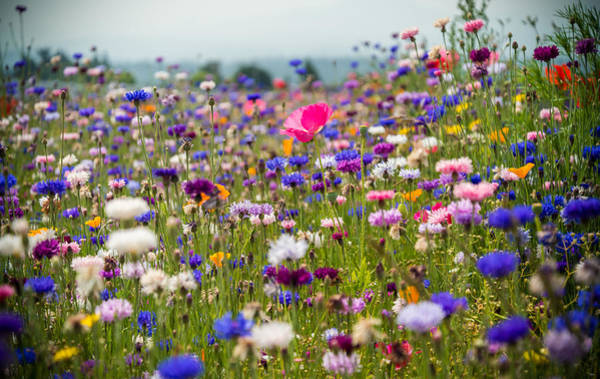Photograph - Wild Flowers by Kristopher Schoenleber