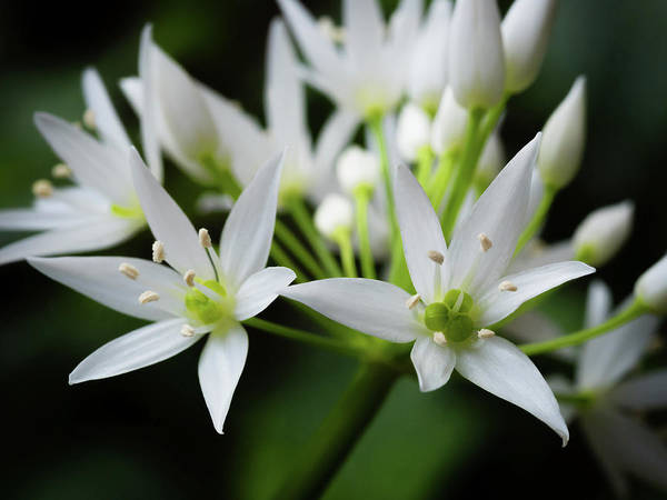 Photograph - Wild Garlic by Nick Bywater