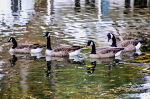Water Foul Painting - Wild Geese On A Lake 2 by Jeelan Clark