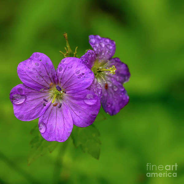 Photograph - Wild Geranium With Raindrops by Thomas R Fletcher