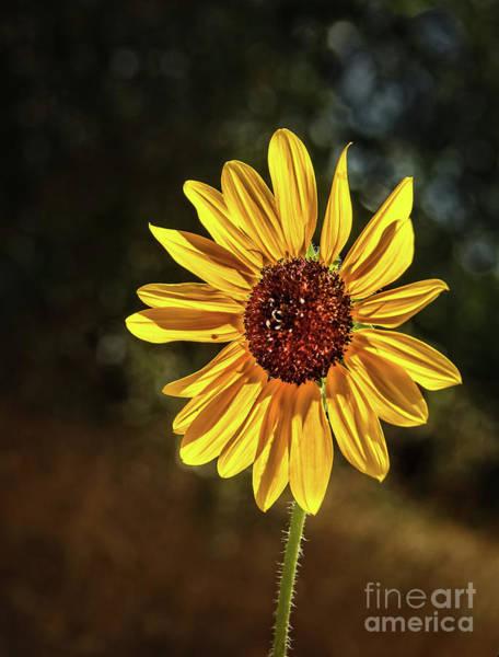 Sunflower Seeds Photograph - Wild Sunflower by Robert Bales
