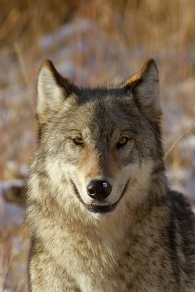 Photograph - Wild Wolf Portrait by Mark Miller
