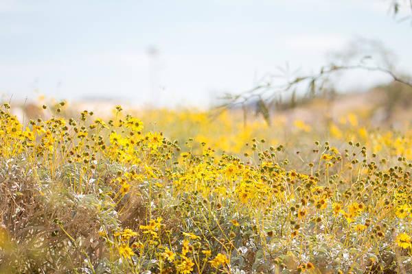Mojave Photograph - Wildflower by Hyuntae Kim