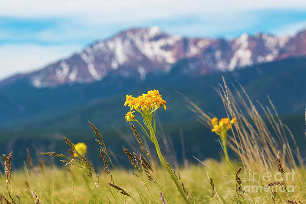 Photograph - Wildflowers And Pikes Peak by Steve Krull