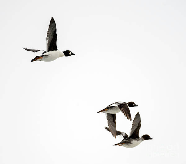 Waterfowl Wall Art - Photograph - Winter Flight by Mike Dawson