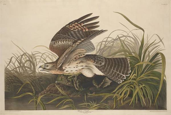 Hawk Drawing - Winter Hawk by Dreyer Wildlife Print Collections