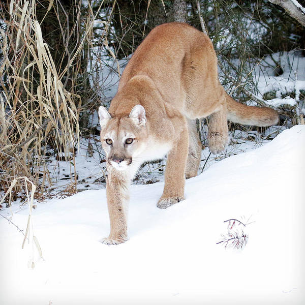 Lion In Winter Photograph - Winter Prowler by Steve McKinzie