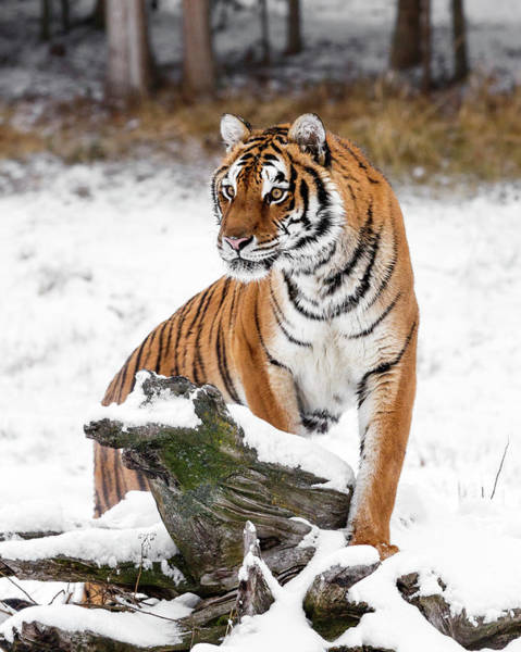 Photograph - Winter Tiger Perch by Wes and Dotty Weber