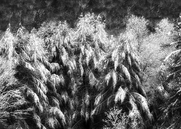 Photograph - Winter Trees by Bill Wakeley