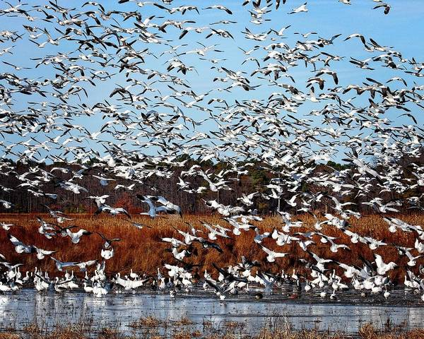 Photograph - Wintering Snow Geese by Ronald Lutz