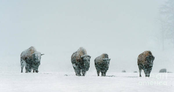 Wall Art - Photograph - Winter's Burden II by Sandra Bronstein
