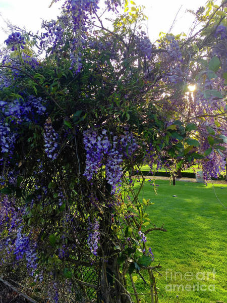 Photograph - Wisteria by Leslie Hunziker