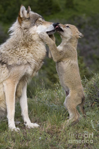 Timber Wolves Photograph - Wolf Cub Begging For Food by Jean-Louis Klein & Marie-Luce Hubert