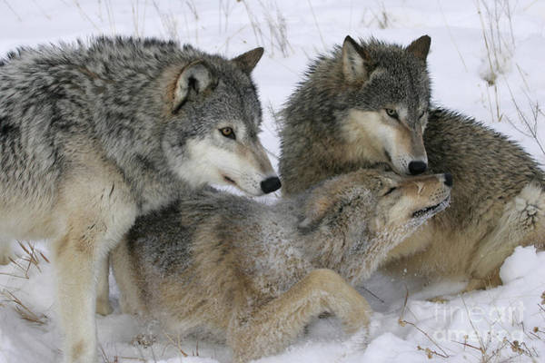 Timber Wolves Photograph - Wolf Social Behavior by Jean-Louis Klein & Marie-Luce Hubert