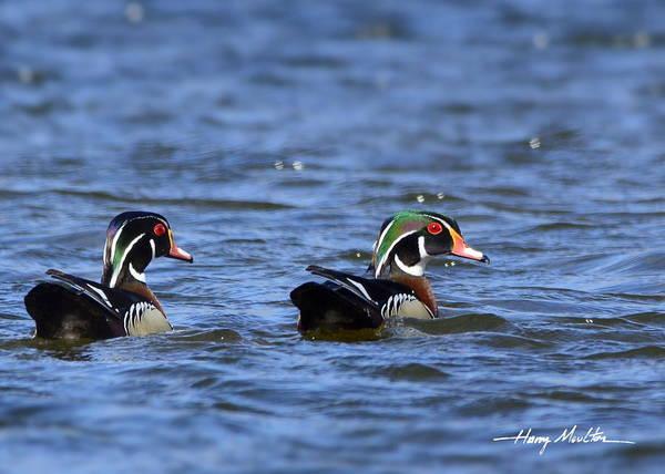 Photograph - Wood Ducks by Harry Moulton