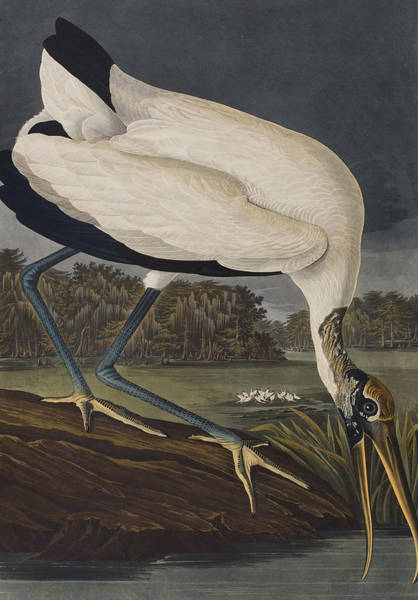 Waters Edge Wall Art - Painting - Wood Ibis by John James Audubon