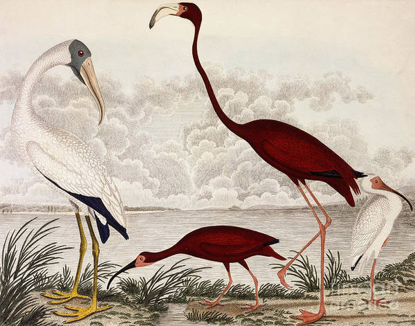 Wood Ibis, Scarlet Flamingo, White Ibis Art Print