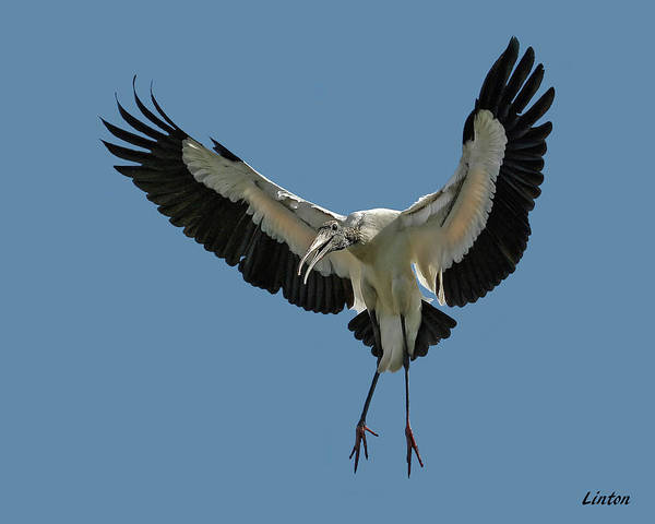 Photograph - Wood Stork by Larry Linton