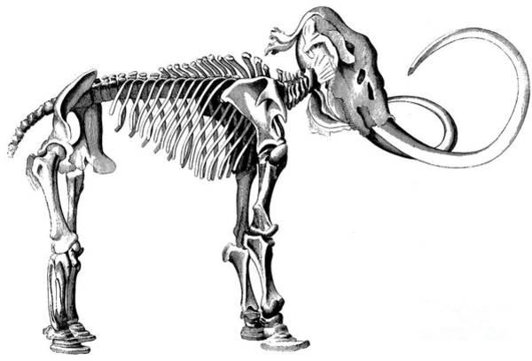 Woolly Mammoth Skeleton Art Print