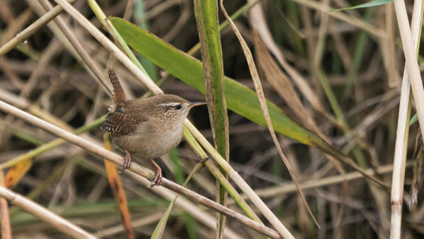 Photograph - Wren by Wendy Cooper