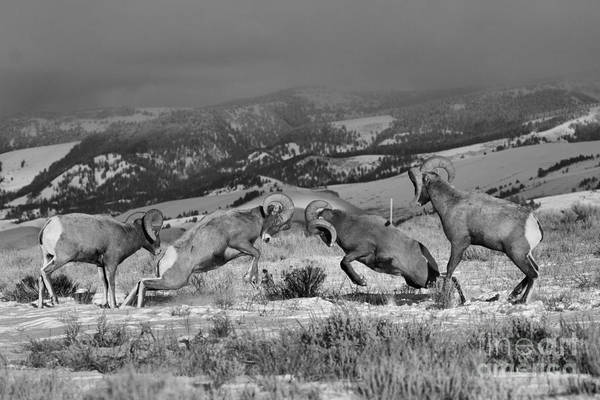 Photograph - Wyoming Bighorn Brawlers - Black And White by Adam Jewell
