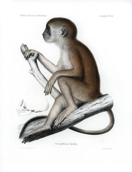 Drawing - Yellow Baboon, Papio Cynocephalus by J D L Franz Wagner