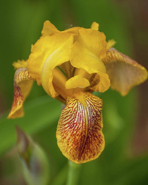 Photograph - Yellow Bearded Iris by Brenda Jacobs