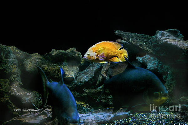 Photograph - Yellow Fish In Tank by Richard J Thompson