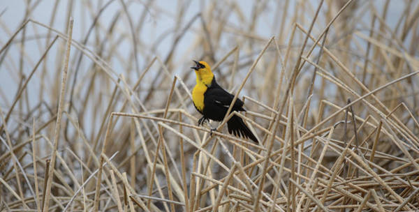 Wall Art - Photograph - Yellow Head Blackbird by Whispering Peaks Photography