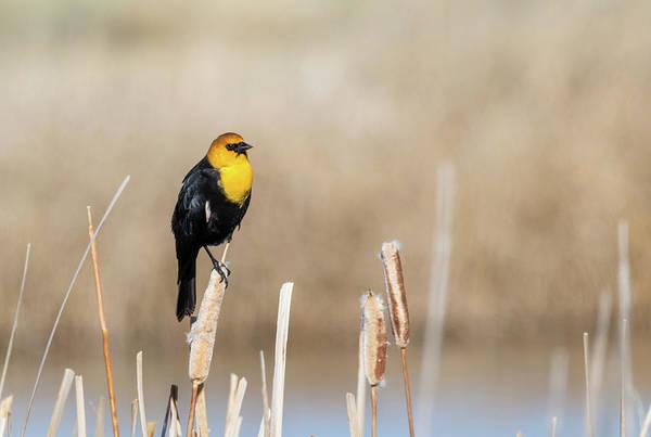 Photograph - Yellow Headed Blackbird by Michael Chatt