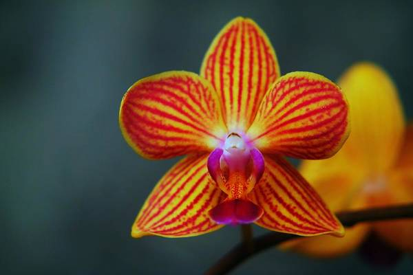 Little Things Photograph - Yellow Orchid by Jeff Swan