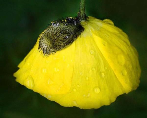 Wall Art - Photograph - Yellow Poppy by Marilynne Bull