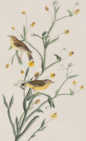 Stalk Drawing - Yellow Red-poll Warbler by John James Audubon
