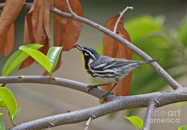 Parulidae Photograph - Yellow-throated Warbler by Neil Bowman/FLPA