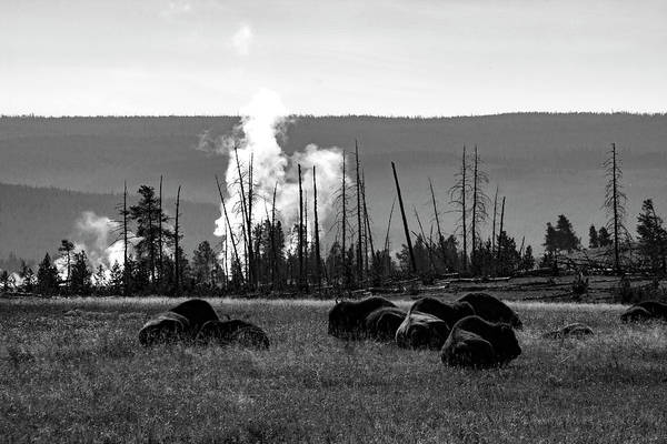 Photograph - Yellowstone Bison  by Aidan Moran