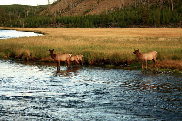 Photograph - Yellowstone Elk At Madison River by Aidan Moran